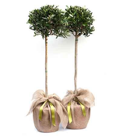 Regalo árbol de olivo