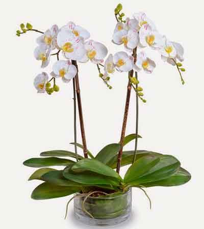 Orquídea Planta