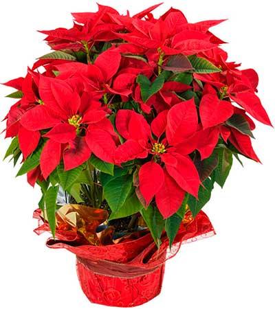 Comprar cesta de navidad en madrid flor de pascua - Plantas de navidad cuidados ...