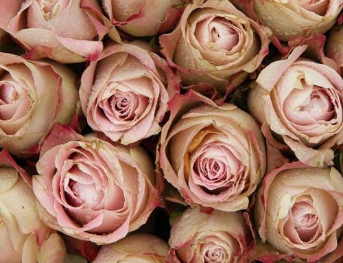Historia de las rosas