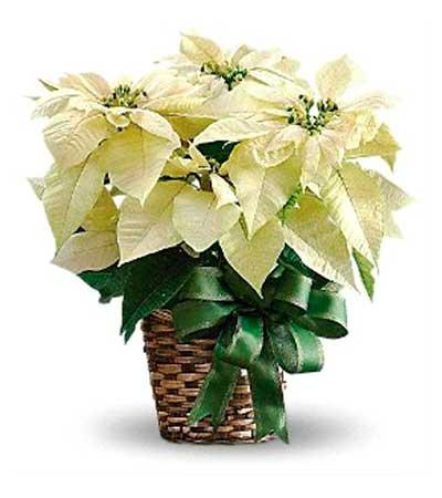 Flor de Pascua blanco